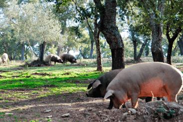 Ruta del cerdo ibérico. En la dehesa